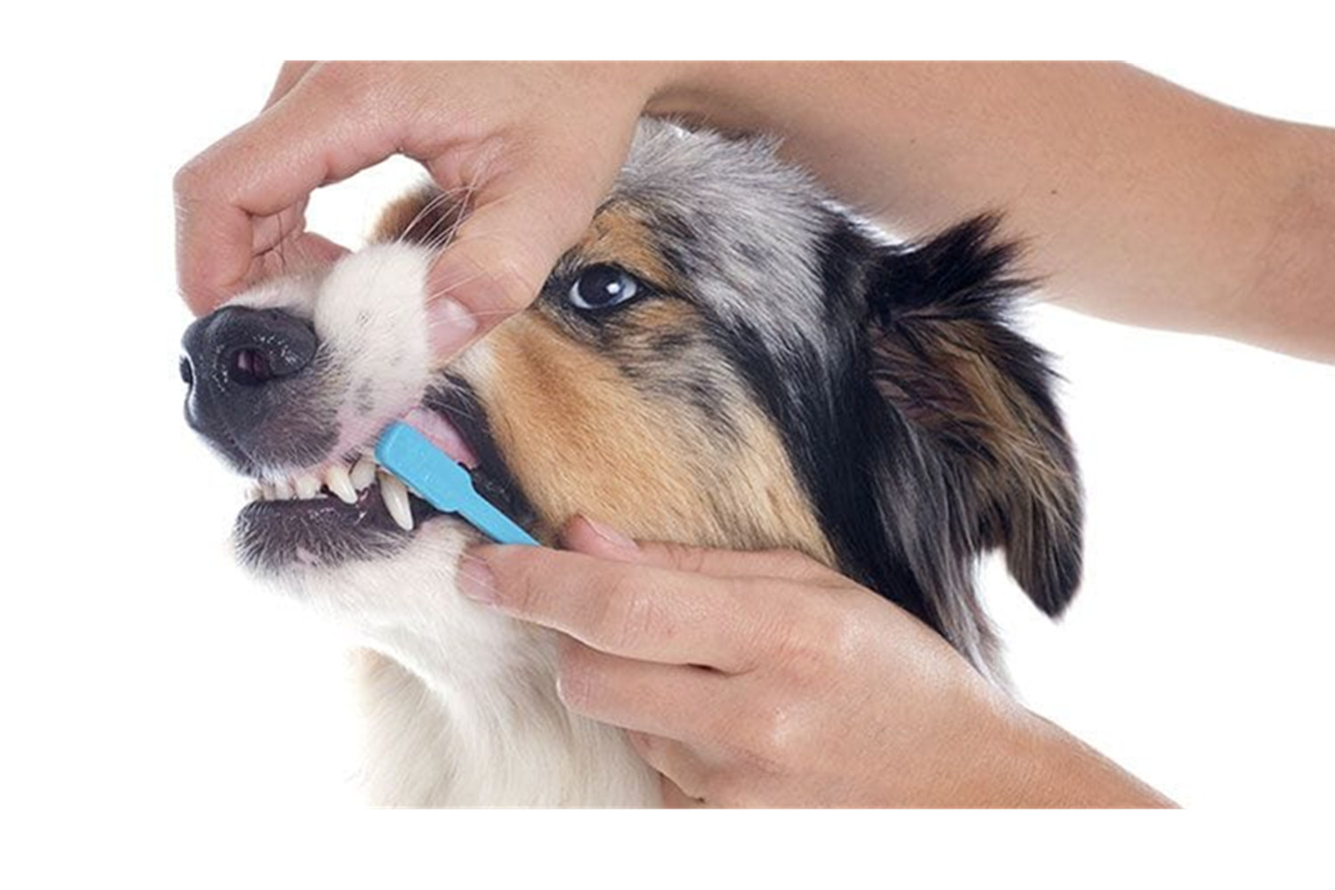 How To Brush A Dog's Teeth- To Get Rid Of Dental Problems.