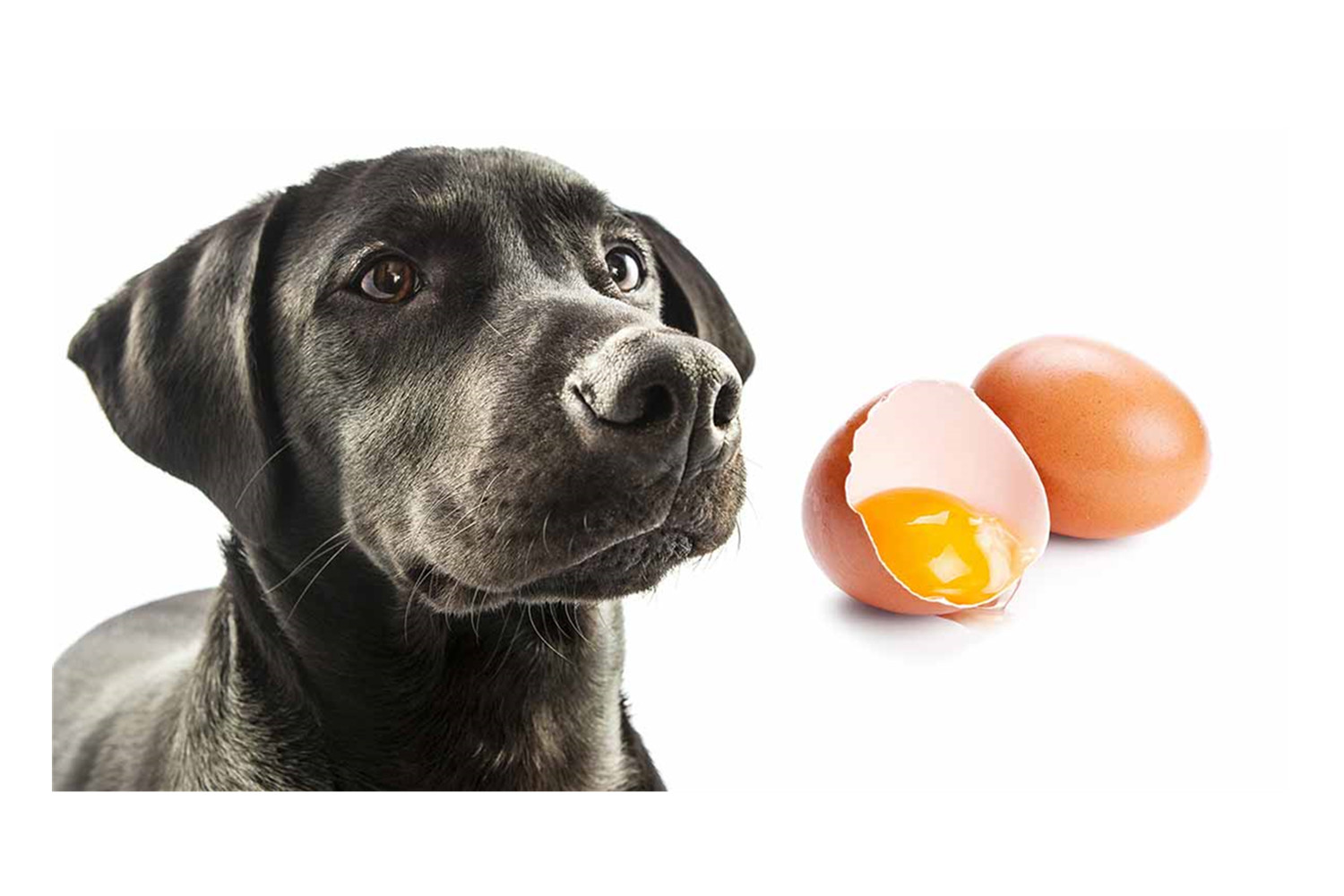 Can Dogs Eat Raw Eggs- Know Its Benefits For Your Dog.