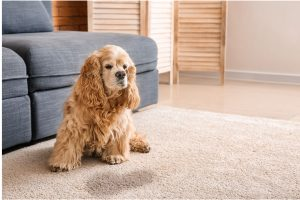 Dog Peeing In The House? What To Do?Know Important Dog Training Tips.